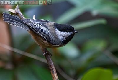 Black-capped Chickadee (Poecile atricapilla)