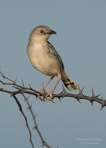 Croaking Cisticola, Hluhluwe-Imfolozi NP, KZN, SA, Jan 2014-1