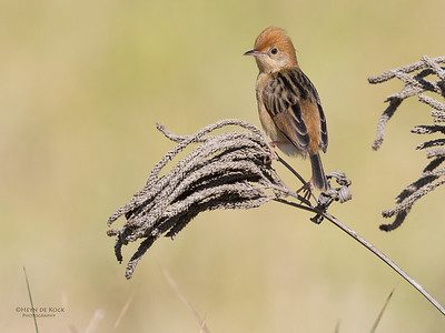 Golden-headed Cisticola, Hinterland Regional Park, Gold Coast, QLD, Aus, Sept 2017-3