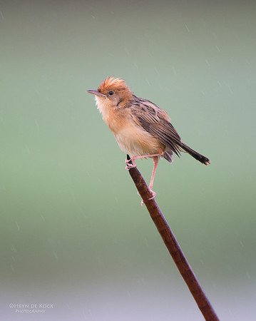 Golden-headed Cisticola, Nowra, NSW, Aus, Nov 2012