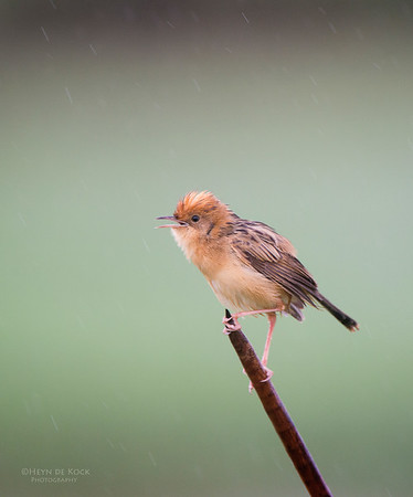 Golden-headed Cisticola, Nowra, NSW, Aus, Nov 2012-2