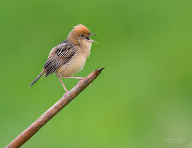 Golden-headed Cisticola, Nowra, NSW, Aus, Nov 2012-3