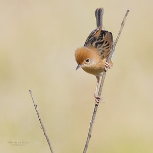 Golden-headed Cisticola, Hinterland Regional Park, Gold Coast, QLD, Aus, Sept 2017-5