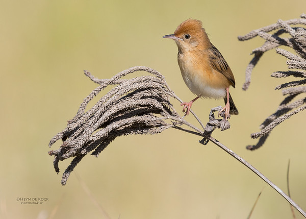 Golden-headed Cisticola, Hinterland Regional Park, Gold Coast, QLD, Aus, Sept 2017-1