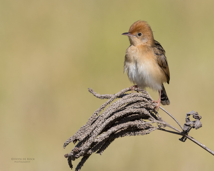 Golden-headed Cisticola, Hinterland Regional Park, Gold Coast, QLD, Aus, Sept 2017-2