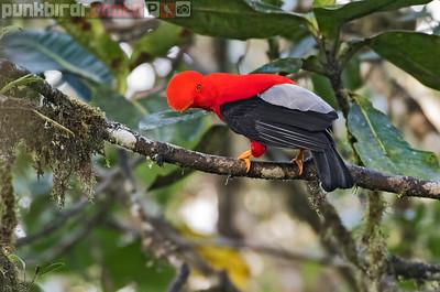 Andean Cock-of-the-Rock (Rapicola peruviana)