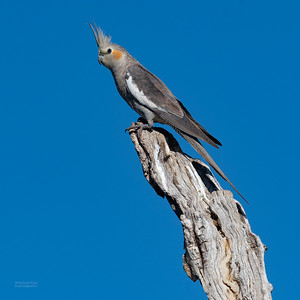 Cockatiel, Lake Cargelligo, NSW, Aus, Oct 2018-2