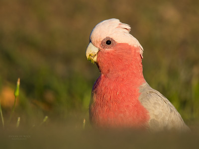 Galah, Gatton, QLD, October 2015