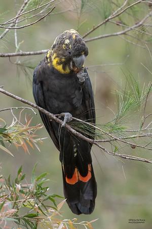 Glossy Black Cockatoo, Nerang, QLD, Sep 2020-4