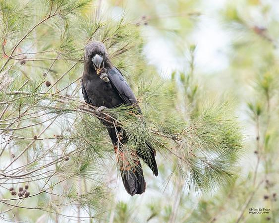 Glossy Black Cockatoo, Nerang, QLD, Sep 2020-3