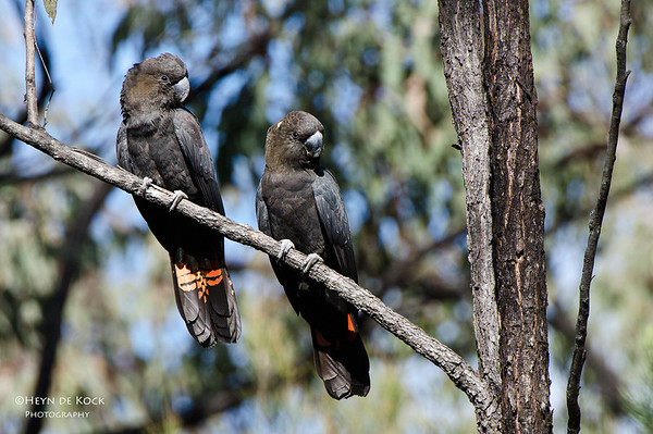 Glossy Black-cockatoos, Munghorn Gap, NSW, Aus, Jul 2012