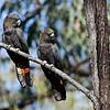 Glossy Black-cockatoos, Munghorn Gap, NSW, Aus, Jul 2012