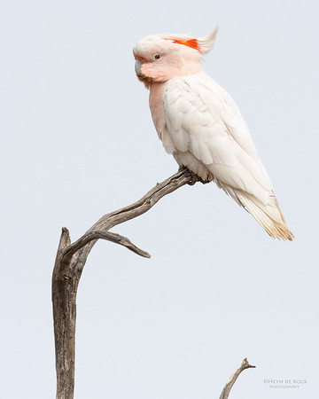 Major Mitchell's Cockatoo, Bowra, Cunnamulla, QLD, Aus, Sept 2017-2