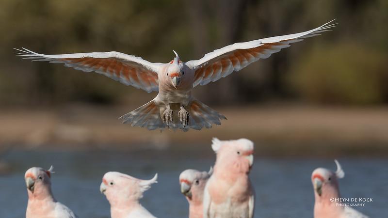 Major Mitchell's Cockatoo, Bowra, Cunnamulla, QLD, Aus, Sept 2017-14