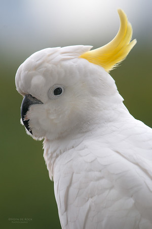 Sulpher-crested Cockatoo, Clear Island Waters, June 2010