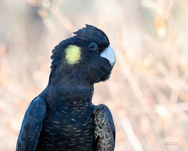 Yellow-tailed Black Cockatoo, Red Rock, NSW, Jul 2018-3
