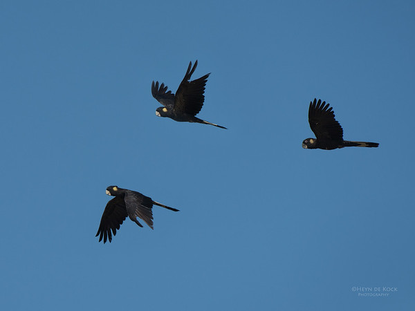 Yellow-tailed Black-cockatoo, Lake Wollumboola, NSW, Nov 2014-1