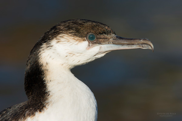 Black-faced Cormorant, sub-adult, Eaglehawk Neck, TAS, July 2015-1