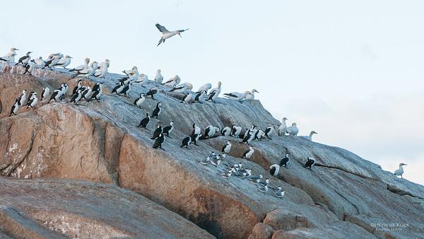 Black-faced Cormorant, Australian Gannet, Crested Tern, Eaglehawk Neck, TAS, Feb 2011