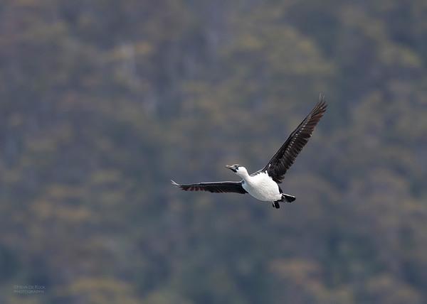 Black-faced Cormorant, Eaglehawk Neck Pelagic, TAS, Dec 2019-3