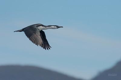 Black-faced Cormorant, Eaglehawk Neck Pelagic, TAS, Dec 2019-4