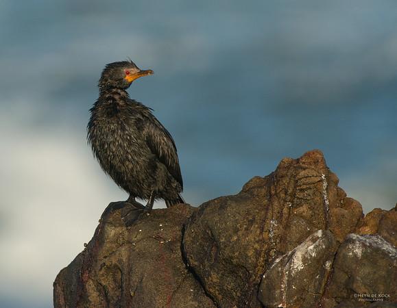 Crowned Cormorant, West Coast NP, WC, SA, Jan 2014-3