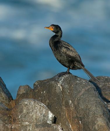 Crowned Cormorant, West Coast NP, WC, SA, Jan 2014-1
