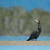 Great Cormorant, Lake Conjola, NSW, Aus, Sep 2013-1