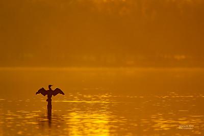Little Black Cormorant, Shoalhaven Heads, NSW, Sep 2012