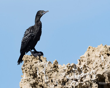 Little Black Cormorant, Anglesea, VIC, Oct 2018