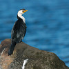 Little Pied-cormorant, Shoalhaven Heads, NSW, Aus Jun 2013