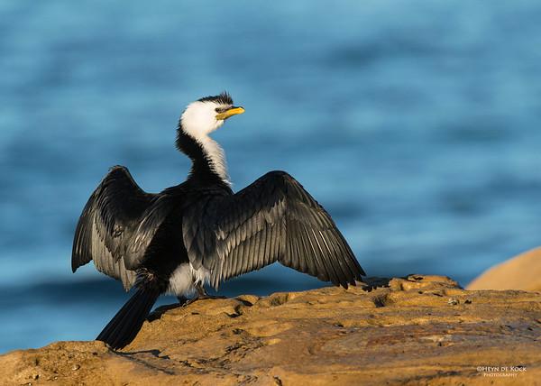 Little Pied-cormorant, Bellambi Beach, NSW, Aus, Sep 2012