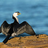 Little Pied-cormorant, Bellambi Beach, NSW, Aus, Sep 2012