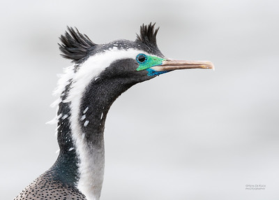 Spotted Shag, Greymouth, SI, NZ, Sep 2018-1