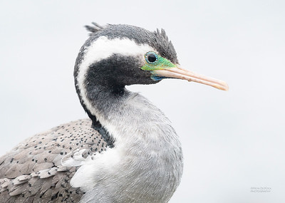 Spotted Shag, Greymouth, SI, NZ, Sep 2018-14