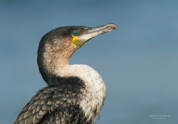 White-breasted Cormorant, Table Mountain NP, WC, SA, Jan 2014