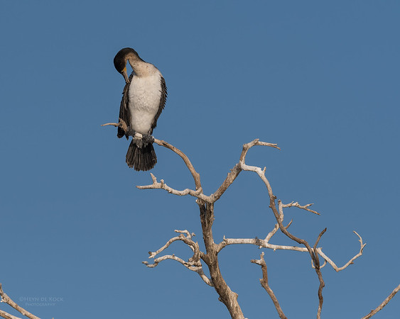 White-breasted Cormorant, Chobe River, NAM, Oct 2016-2