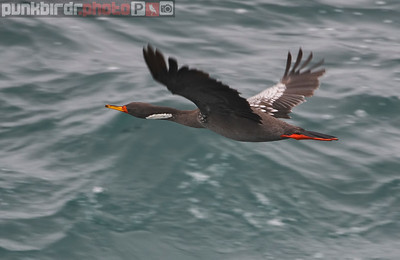 Red-legged Cormorant (Phalacrocorax gaimardi)