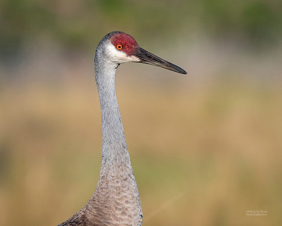 Sandhill Crane, Circle B Bar, Lakeland, FL, USA, May 2018-2