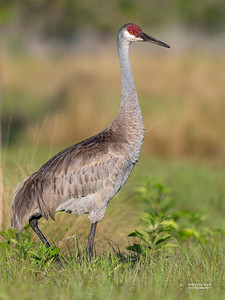 Sandhill Crane, Circle B Bar, Lakeland, FL, USA, May 2018-1