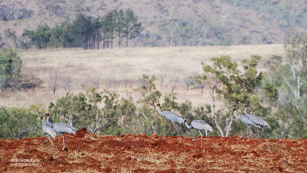 Sarus Crane, Atherton Tablelands, Aug 2008