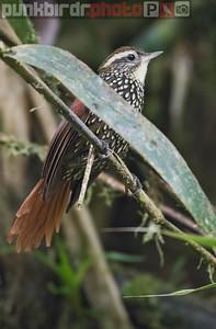 Pearled Treerunner (Margarornis squamiger)