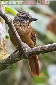 Streak-capped Treehunter (Thripadectes virgaticeps)