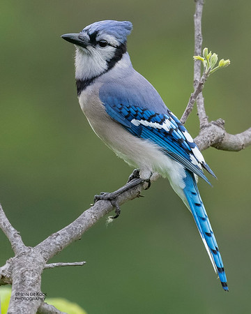 Blue Jay, Standing Bear Lake, NE, USA, May 2018-2