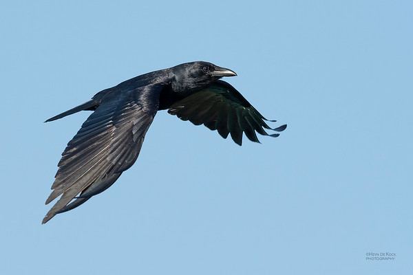 Fish Crow, Fort De Soto, St Petersburg, FL, USA, May 2018-2
