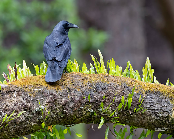 Forest Raven, Otway Ranges, VIC, Oct 2018-1