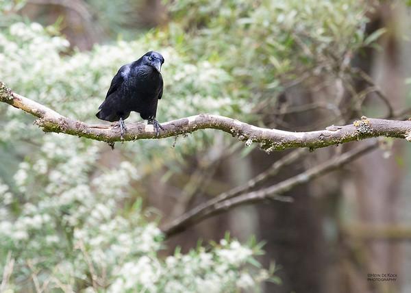 Forest Raven, Otway Ranges, VIC, Oct 2018-2
