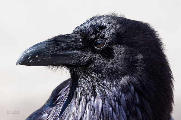 Northern Raven, Yellowstone NP, WY, USA May 2018-2