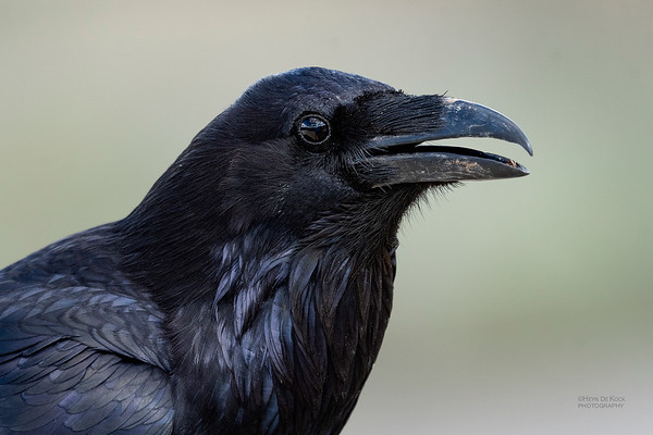 Northern Raven, Yellowstone NP, WY, USA May 2018-1