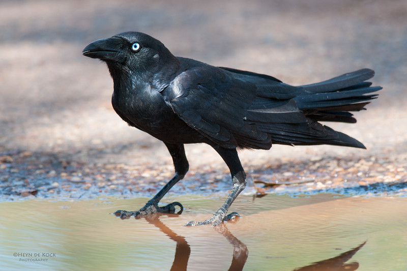 Toressian Crow, Hall's Creek, NT, Sept 2010 jpg-1